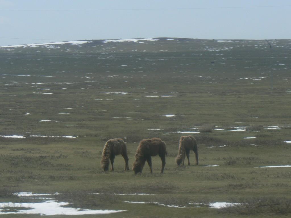 Mongolia bus trip camels