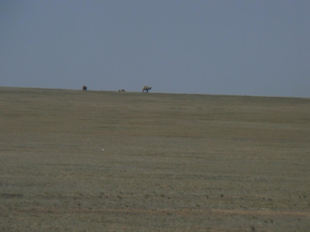 Camels roaming in the Gobi desert